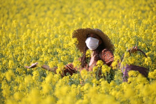 Altın sarısı kanola tarlaları göz kamaştırıyor