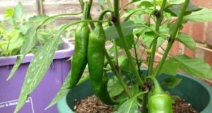 Balkonda sebze nasıl yetiştirilir?