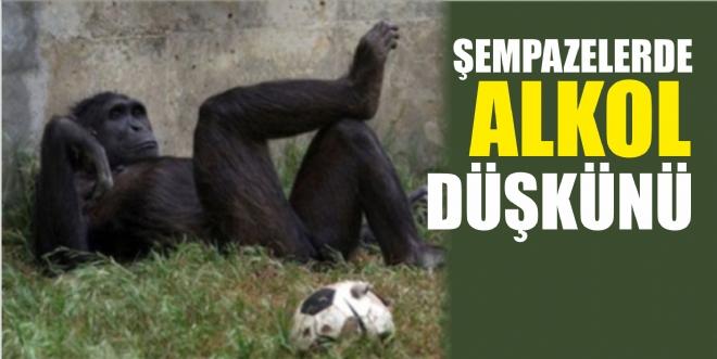 Şempanzeler de 'alkol düşkünü'