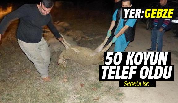 50 koyun zehirlenerek telef oldu