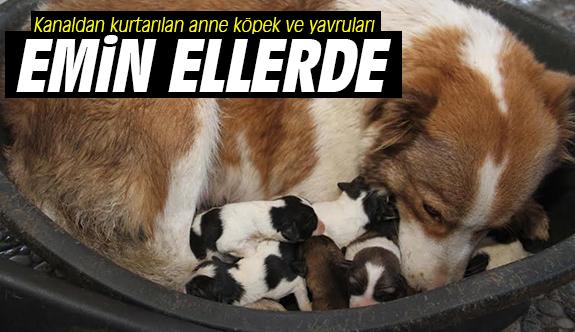 Kanaldan kurtarılan anne köpek ve yavruları emin ellerde