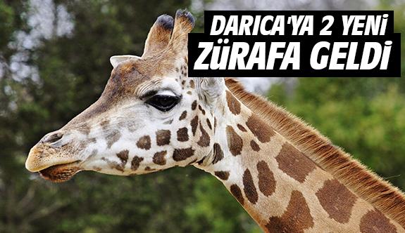 Darıca'ya 2 yeni zürafa geldi