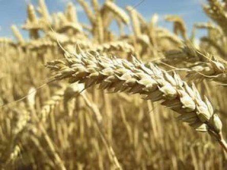 Rusya: Türkiye, buğdaya vergiyi kaldırmazsa...