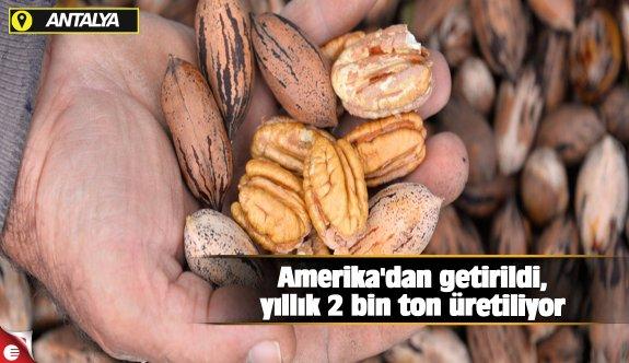 Amerika'dan getirildi, yıllık 2 bin ton üretiliyor