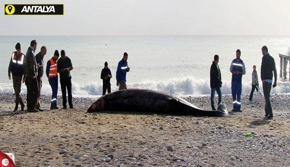 Antalya'da sahile ölü balina vurdu