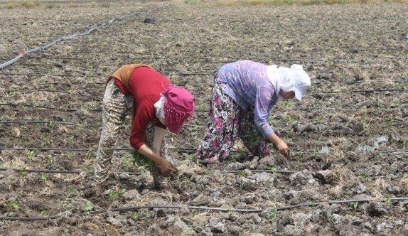 Tarım işçilerinin aşırı sıcak havada zorlu mesaisi