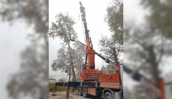 Kocaeli'de asırlık çınar ağaçlarının röntgeni çekildi