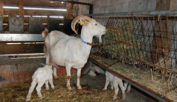 Çanakkale'de hayvancılıkla uğraşan üreticinin keçisi tek batında beşiz yavruladı