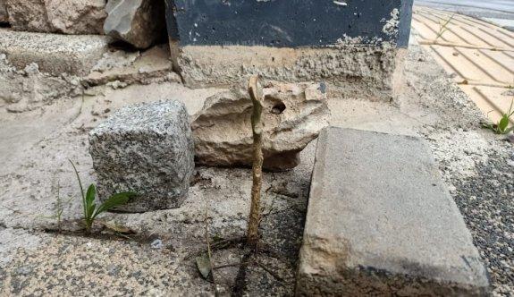 Kocaeli'de bir kadının kaldırımdaki fidanı kırması güvenlik kamerasında