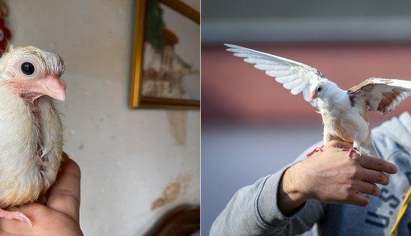 Ölmek üzereyken kurtarılan güvercin