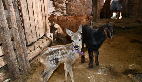 Balıkesir'de yırtıcı hayvanlardan kaçan karaca yavrusuna, yavrusu ölen keçi annelik ediyor