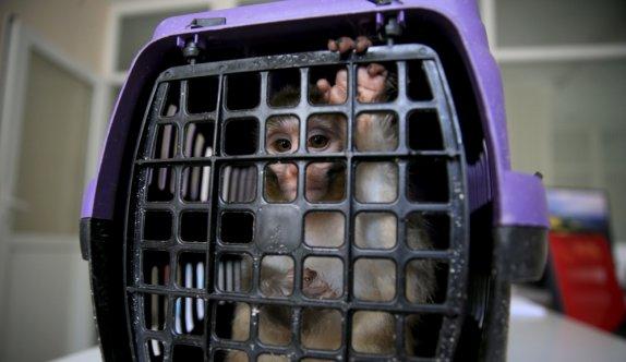 Kırklareli'nde bakımı yasak maymun koruma altına alındı
