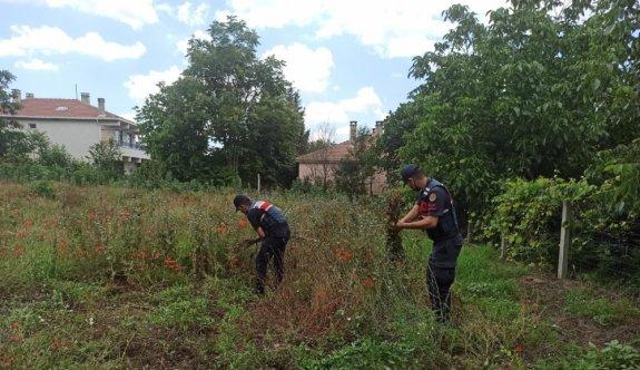 Kırklareli'nde yasa dışı ekilen 975 kök haşhaş bitkisi ele geçirildi
