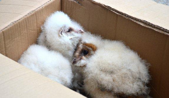 Sakarya'da çatı katında bulunan baykuş yavruları koruma altına alındı