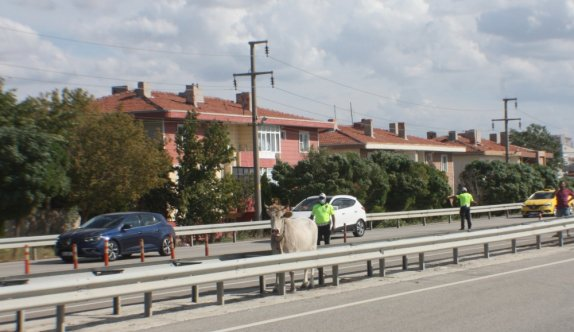 Edirne'de mezbahaya götürülürken kaçan inek 4 saat sonra yakalandı