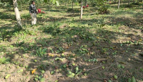 Bursa'daki ceviz bahçelerinde hasat başladı