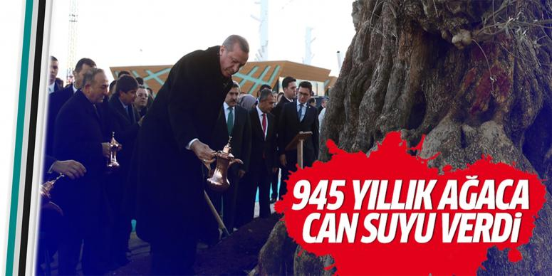 945 yaşındaki ağaca can suyu