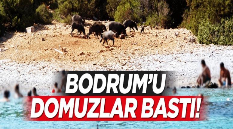 Bodrum'u domuzlar bastı!
