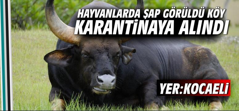 Hayvanlarda şap görüldü köy karantinaya alındı