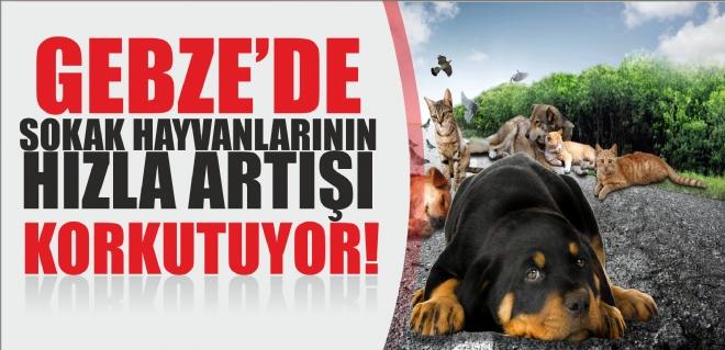 Gebze'de sokak hayvanlarının sayısında ki artış korkutuyor