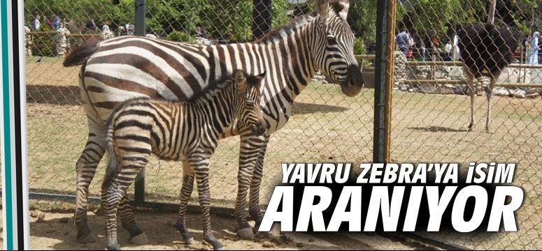 Yavru Zebra'ya isim aranıyor